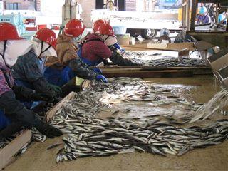 写真:陸揚げした鮮魚は魚種別に選別され市場へ